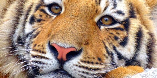 tiger-2207433_1920