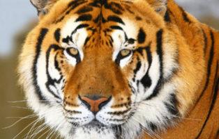 tigre-3429